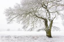Snow Covered Old Oak Tree