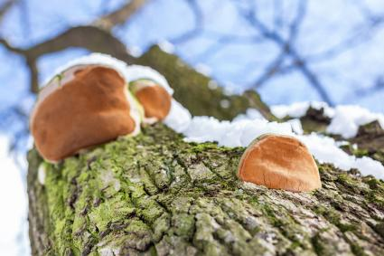 Parasit mushroom on bar of oak tree