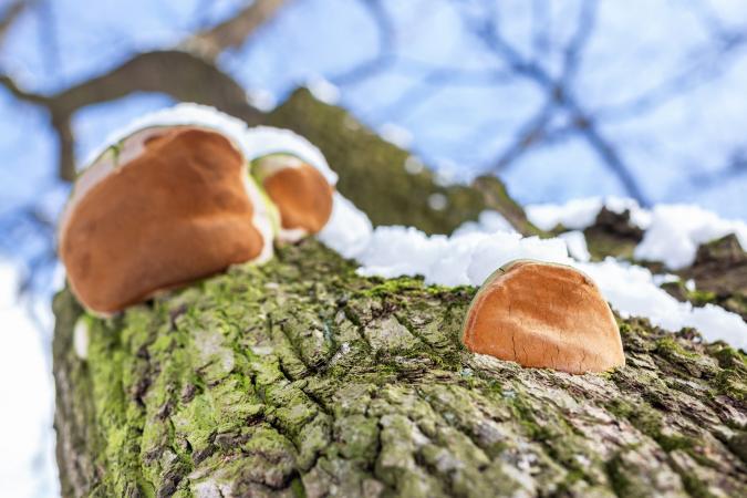 Parasit mushroom on bar of oak tree