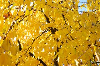Yellow Autumn Hornbeam Leaves