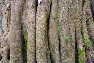 Hornbeam tree bark