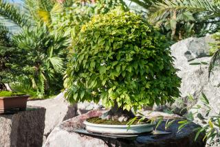 Bonsai Hornbeam in Japanese garden
