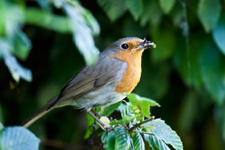 European robin on Hornbeam branch