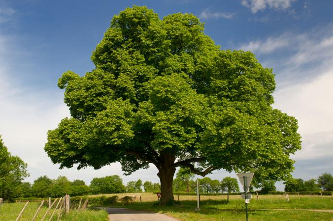 Big chestnut tree in agriculture landscape