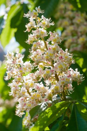 Chestnut tree flowers blossoming