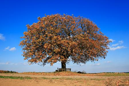 Large chestnut tree in autumn