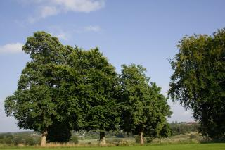 Group of Chestnut trees