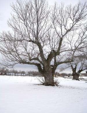 Chestnut tree in winter