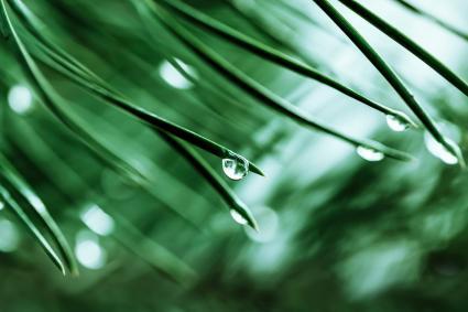 Needle leaves