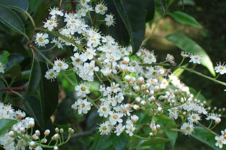 Laurel flower blossoms on the branch