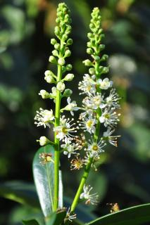 Cherry Laurel flower closeup