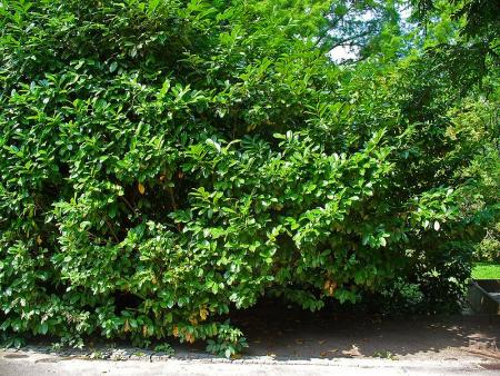 English Laurel (Prunus Laurocerasus)