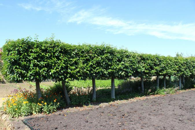Portuguese Laurel trees as a hedge