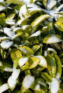 Laurel in snow