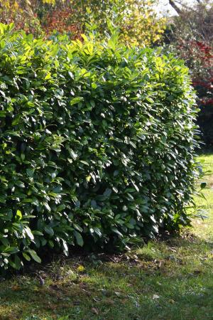 Laurel hedge in yard