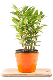 Laurel plant in pot