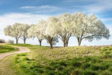 Pear Trees On Grass Landscape
