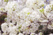 Manchurian pear tree in bloom