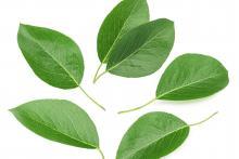 Pears leaves