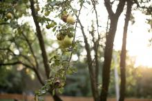 Pears hanging from tree at farm