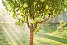 Pear tree and water