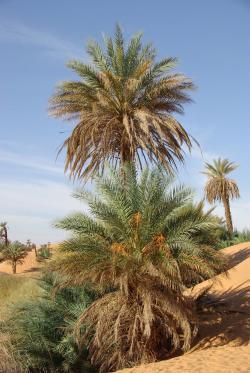 Libya Palm Trees