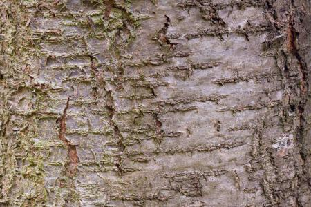 Closeup of plum tree bark
