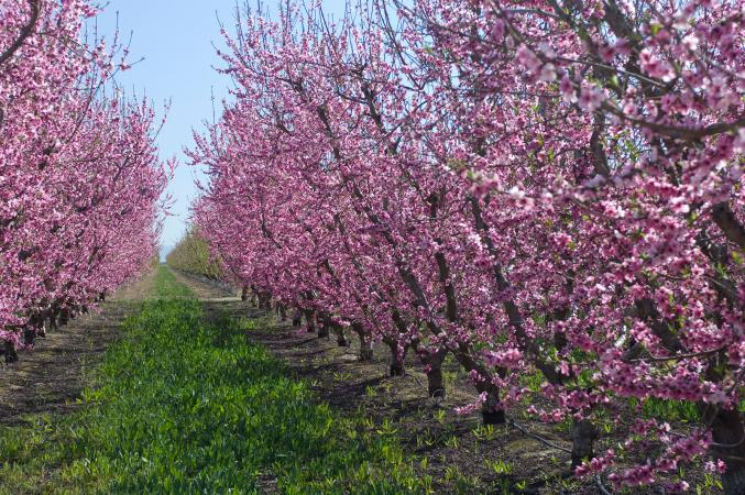 Plum trees in a row