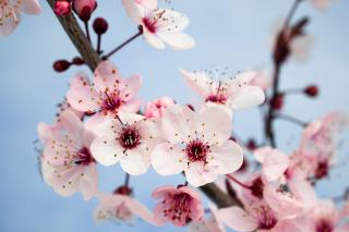 Closeup of plum blossom
