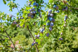 Purple plum fruits on branches