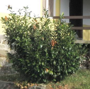 unpruned laurel in yard