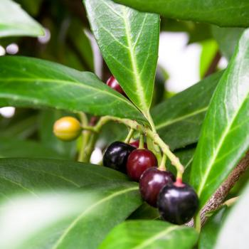 Ripening Cherry Laurel Fruits