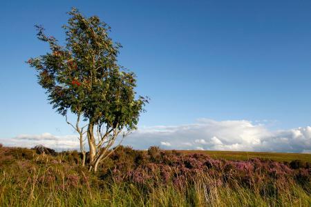 European Mountain Ash in England