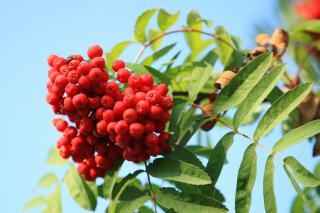 Ash tree berries on branch