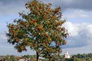 Single Mountain Ash Tree
