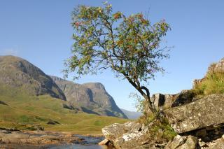 Mountain Ash tree near a stream