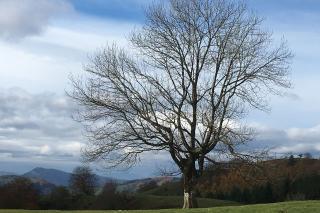 Mountain Ash tree in winter