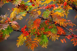 Colored leaves of the Rowan tree