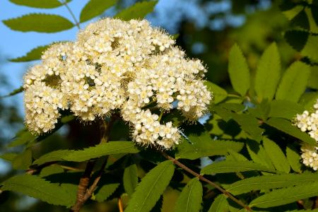 Mountain Ash flowers in bloom