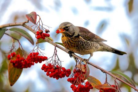 Bird eating Rowan berries in tree