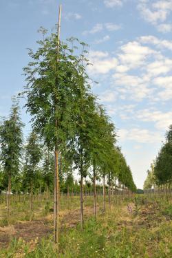 Rowan trees in a row