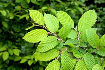 Green Elm leaves closeup