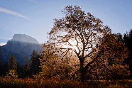 Wych Elm in Autumn