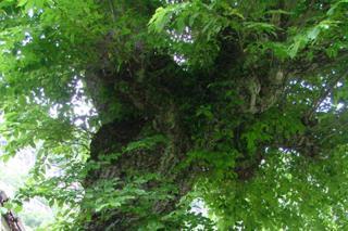 Old Wych Elm Tree