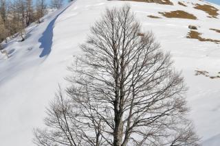 Great Wych Elm in Winter