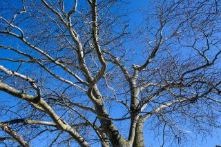 Wych Elm tree against blue sky