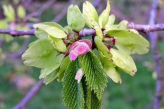 Leaves and fruit of Wych Elm