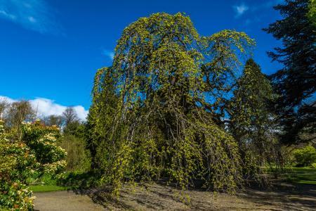 Tall Wych Elm Tree
