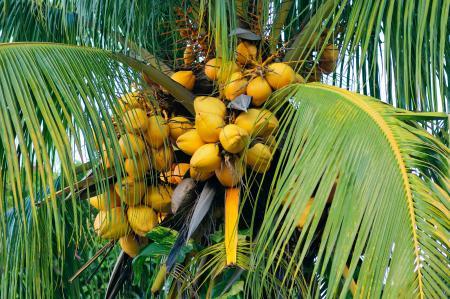 Coconut palm in Havana, Cuba