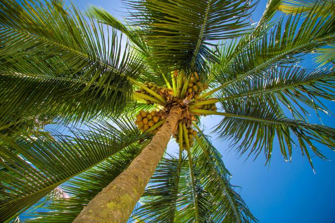 Looking up at coconut palm